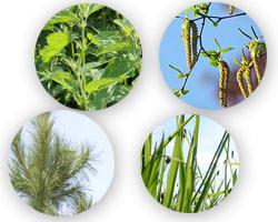 花粉症の原因となる植物イメージ